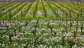 Vines in the Spring Royalty Free Stock Photo