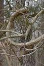 Vines strangle tree near river Royalty Free Stock Photo