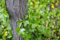 Vines up a tree Royalty Free Stock Photo