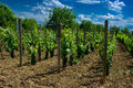 A vineyard. Royalty Free Stock Images
