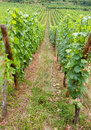 Vineyard in Alsace Royalty Free Stock Photo