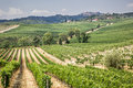 Vineyard in the area of production of Vino Nobile, Montepulciano, Italy Royalty Free Stock Photo
