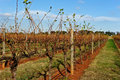 Vineyard in Australia Royalty Free Stock Image