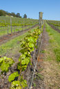 Vineyard in Australia Stock Photography