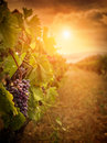 Vineyard in autumn harvest Royalty Free Stock Photo