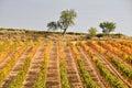 Vineyard at Autumn, La Rioja (Spain) Royalty Free Stock Photo
