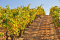 Vineyard at Autumn, La Rioja (Spain) Royalty Free Stock Photo