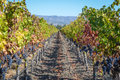 Vineyard in autumn napa valley california Stock Photo