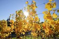 Vineyard in autumn near kiedrich rheingau hesse germany Royalty Free Stock Images