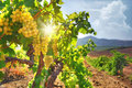 Vineyard in autumn at the sunset Royalty Free Stock Images
