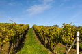 Vineyard autumn under blue sky Stock Photos