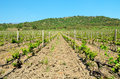 Vineyard and azure blue sky young plants of grapes on a background of mountains forest Royalty Free Stock Image