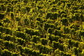 Vineyard background Royalty Free Stock Photography