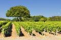 Vineyard in Beaujolais Royalty Free Stock Photo