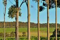 Vineyard behind treeline line of smooth trunked gum trees Royalty Free Stock Photo