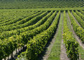 Vineyard in Bordeaux, France Stock Images