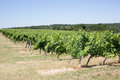 Vineyard bordeaux vineyard france beautiful under blue sky Stock Photo