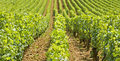 Vineyard in Bourgogne, Burgundy Stock Photos