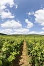 Vineyard, Bourgogne Burgundy. Royalty Free Stock Photo