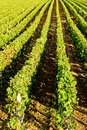 Vineyard, Burgundy Royalty Free Stock Photography