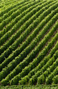 Vineyard in burgundy france a Royalty Free Stock Image
