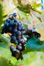 Summer harvest of cabernet grapes in Napa Valley, California, USA Royalty Free Stock Photo