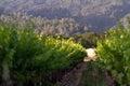 Vineyard in California Royalty Free Stock Photo