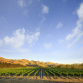 Vineyard in Canterbury, New Zealand Stock Image