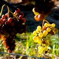 Vineyard in Cape Cod, Massachusettes Royalty Free Stock Photos