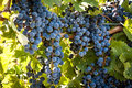 Vineyard close up of red wine grapes hanging on the vine Stock Photo