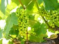 Vineyard with clusters of grapes. Royalty Free Stock Photos