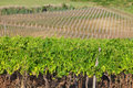 Vineyard in croatia Royalty Free Stock Image
