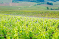 Vineyard detail burgundy france Royalty Free Stock Photos