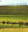 Vineyard down south in Western Australia Royalty Free Stock Images