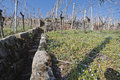 Vineyard in early spring time Royalty Free Stock Photo