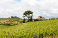 Vineyard and farmhouse with cypresses in tuscany front of a oak tree italy Royalty Free Stock Images