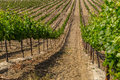 Vineyard Field Royalty Free Stock Photo