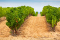 Vineyard Field in Southern France Royalty Free Stock Photo
