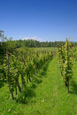 Vineyard by the forest Royalty Free Stock Image