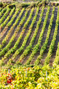 Vineyard, France Stock Images