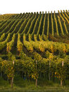Vineyard in franconia Royalty Free Stock Image