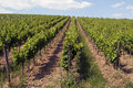 Vineyard a franconian at summer time Royalty Free Stock Images
