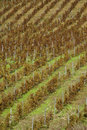 Vineyard on gentle slope in etna region sicily europa Stock Photography