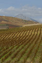 Vineyard on gentle slope in etna region sicily europa Stock Images