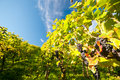 Vineyard in Germany Royalty Free Stock Photo