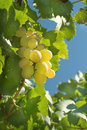 Vineyard Grape Royalty Free Stock Photo