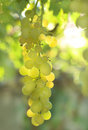 Vineyard Grape Stock Photography