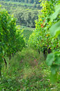 Vineyard - grapevines Royalty Free Stock Photography