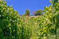 In the vineyard green hill prigorje region croatia Royalty Free Stock Photos