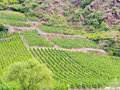 Vineyard on green hills in moselle valley at riverbank germany Stock Photography